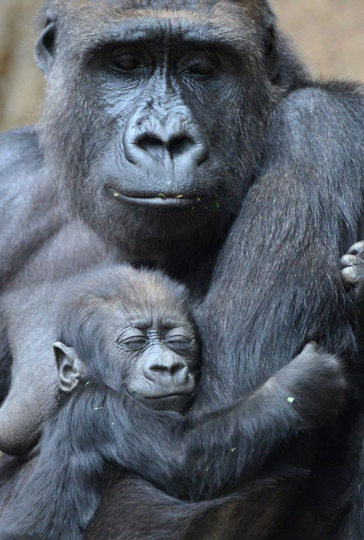 Mom, Baby gorillas and Mothers on Pinterest