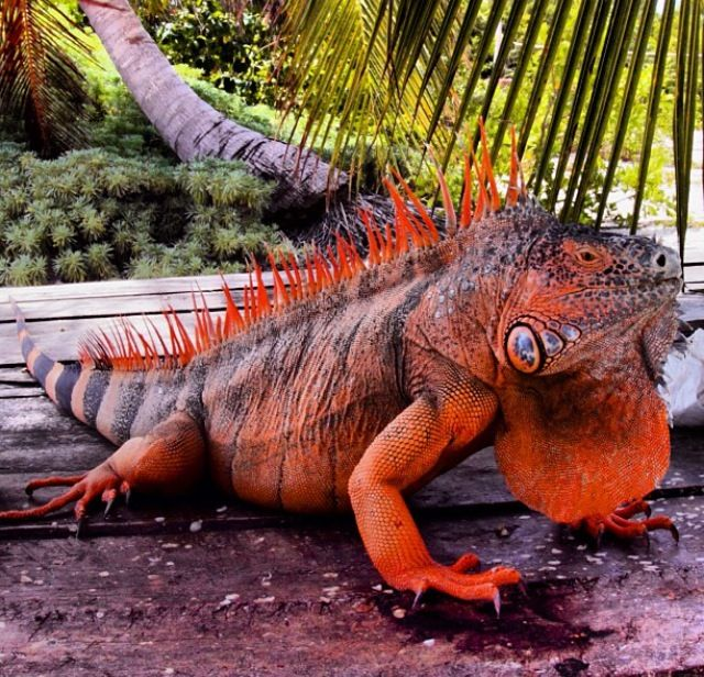 Red iguana on Banco Chinchorro, south east Mexico.
