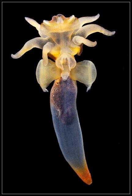 Загадки морских глубин: найдены черви, размножающиеся «сексом в мозг»