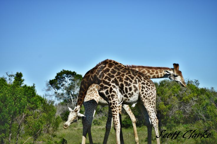 Giraffe necking - Giraffes are the world's tallest mammals, thanks to their towering legs and long necks. A giraffe's legs alone are taller than many humans—about 6 feet (1.8 meters). #Sibuya #KentononSea #EasternCape #SouthAfrica www.sibuya.co.za
