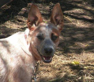 Stumpy Tail Australian Cattle Dog | Australian Stumpy Tail Cattle Dogs : Wangara
