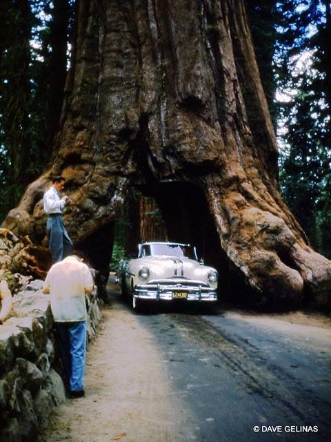 The Wawona Tree, July 4, 1954