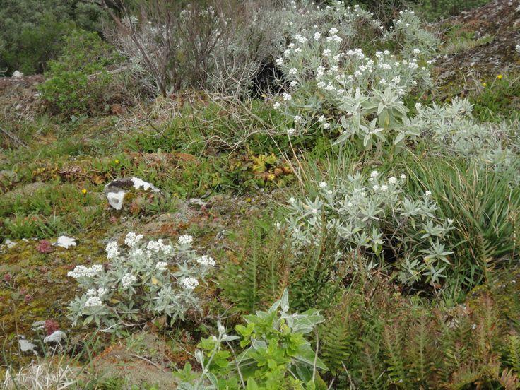 Planta que consta da Listagem dos fungos, flora e fauna terrestres  dos arquipélagos da Madeira e Selvagens  http://www.azoresbioportal.angra.uac.pt/files/noticias_Listagem%20dos%20fungos%20flora%20e%20fauna%20terrestres%20dos%20arquiplagos%20da%20Madeira%20e%20Selvagens.pdf