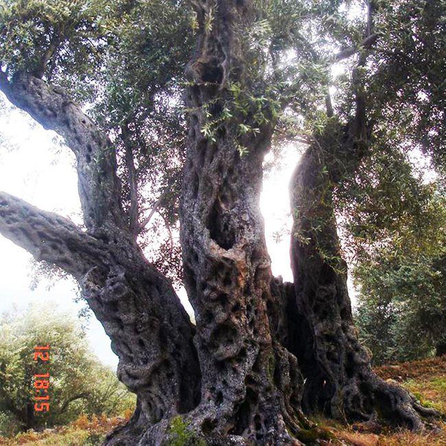 Edin Buzuku zeytin ağacının yaşlı olduğunu biliyordu. Şimdi, İstanbullu bilimadamlarının yardımı sayesinde kaç yaşında olduğunu biliyor: 1314!Yaşlı ağaç, Buzuku'nun Montenegro'nun Ulcinj şehrindeki ailesine ait koruda dikili. Korudaki diğer ağaçlar yaklaşık 800 yaşındalar. Yani biraz daha gençler. Buzuka, bütün ağaçların yöresel Zutica zeytini verdiğini ve ailesinin yüzyıllardır bu zeytinlerle Montenegro extra virgin zeytinyağını ve sabunlarını ürettiğini…