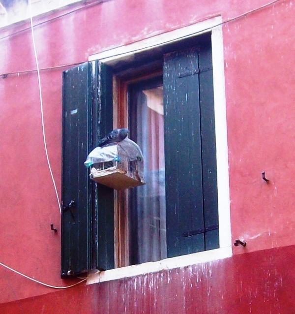 Venetiaanse duif probeert vrienden te maken