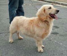 Basset Retriever    Basset hound +Golden retriever