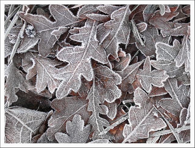 Oak leaves with hoar frost by Carolyn Saxby