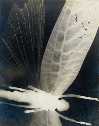 Curtis Moffat (1887-1949). 'Dragonfly'. Solarised gelatin silver  print photogram. About 1930. Victoria &  Albert Museum, London.