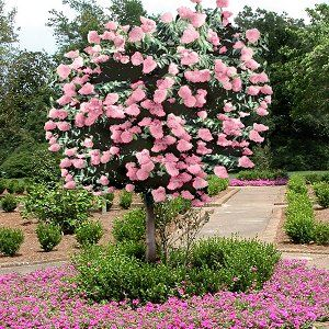 A hydrangea tree ... otherwise known as a PeeGee hydrangea can be trained into a tree shape.  Plus, the blooms go from white to pink as they age!  Would look great in front of our new place ...