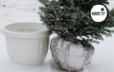Brug grantræet fra haven som juletræ - år efter år