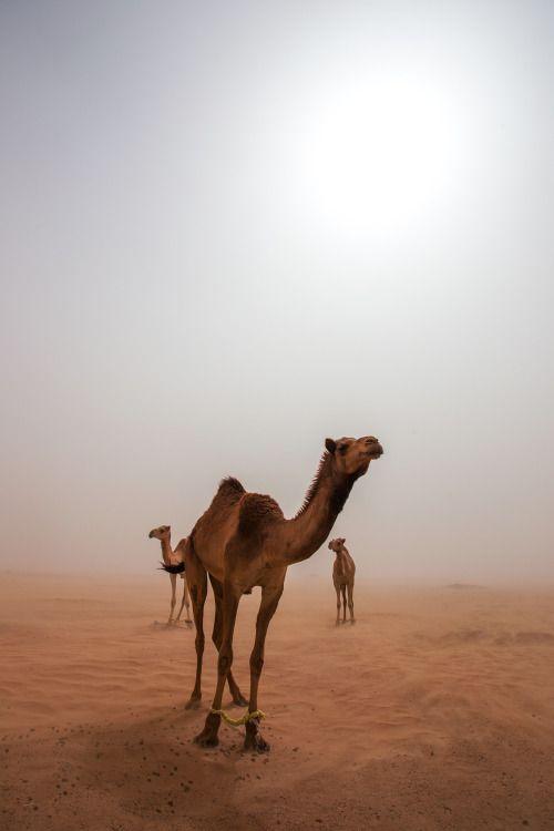 camels in dubai // www.babesngents.com // #babesngents