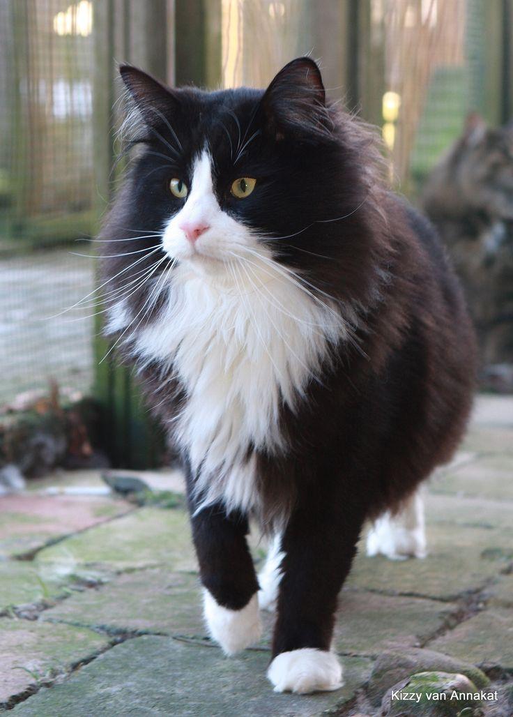 Norwegian Forest cat, Noorse Boskat Kizzy van Annakat