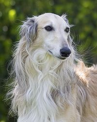A Silken Windhound. They are a mix of Borzoi and Whippet, (they look like borzoi but are the size of a whippet.) Relatively rare in the UK :(