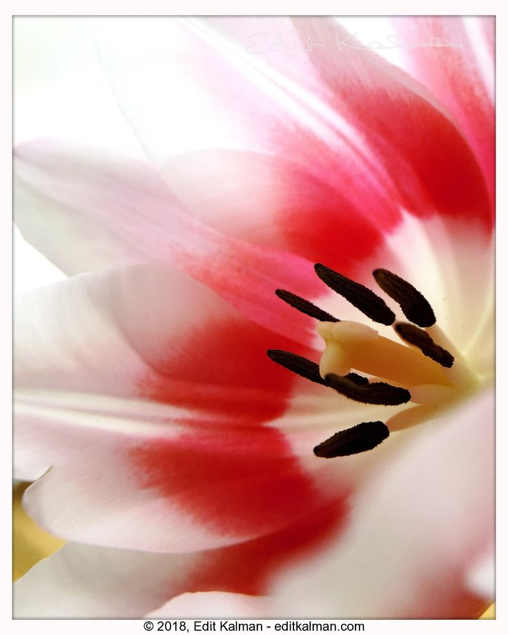 Healing #Flower, #Healing, #Heart, #Ill, #Inspirational, #Light, #Quote, #Rumi, #Soul, #Spiritual, #Spring, #Tulip, #Wound - https://goo.gl/WDtYVV