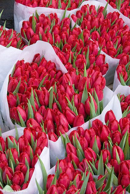 Rosy red tulips by the dozen.