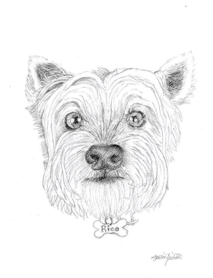 Rico the West Highland Terrier, drawing