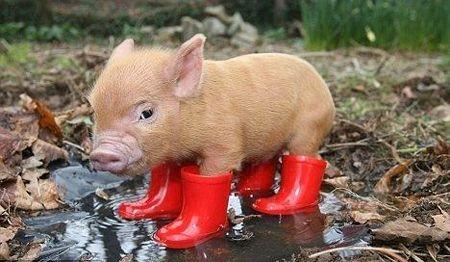 061810blog_pigwellies.jpg (450×262)Little Pigs, Mini Pigs, Rain Boots, Red Boots, Teacup Pigs, Minis Pigs, Baby Pigs, Teacups Pigs, Animal