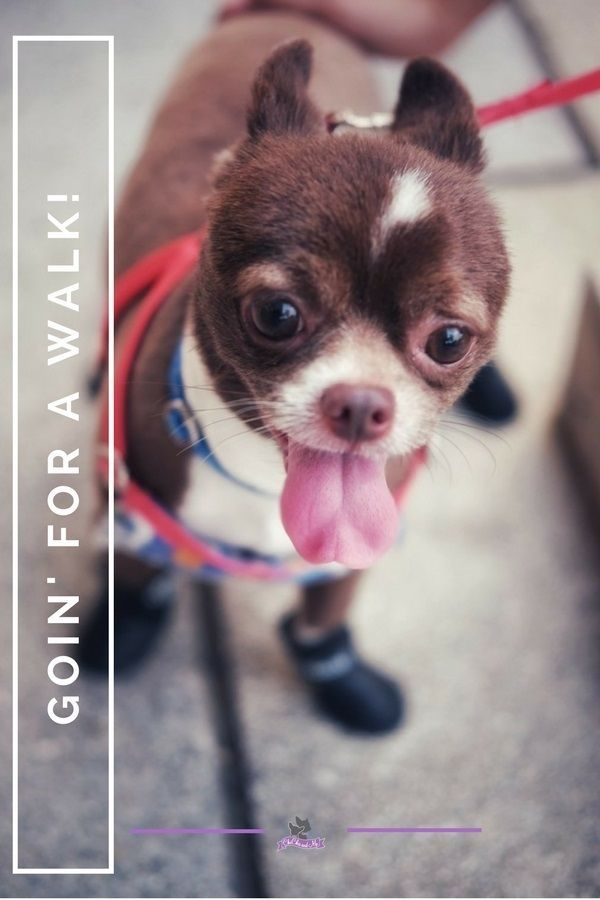 Visit Us For More Cute Chihuahua And Cute Chihuahua Puppy Photos