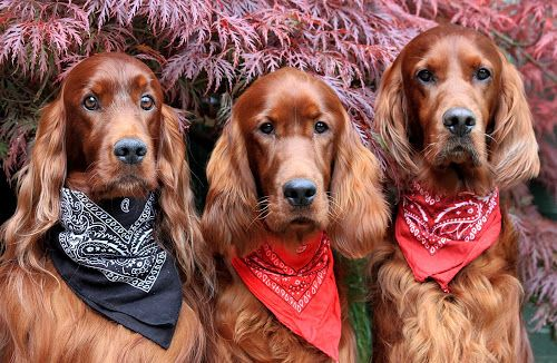 The Bandana Boy's! by Ken Jarvis - Animals - Dogs Portraits ( bandana, irish setter, dog, cute, #GARYFONGPETS, #SHOWUSYOURPETS )