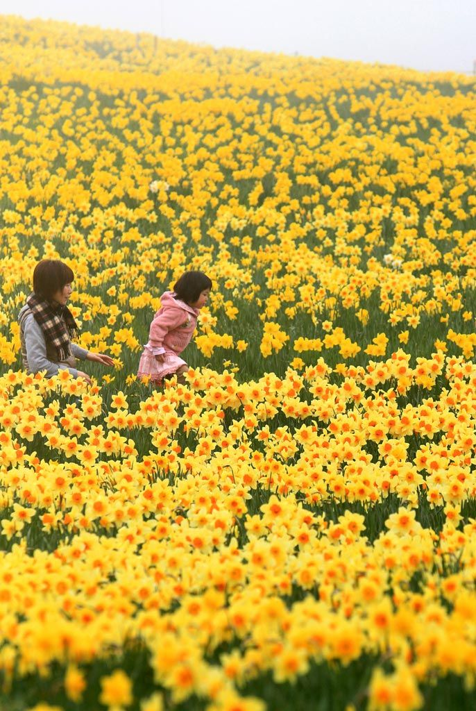 Full Bloom of Narcissus Flowers, Zao-cho, East Japan Miyagi|宮城県蔵王町の水仙