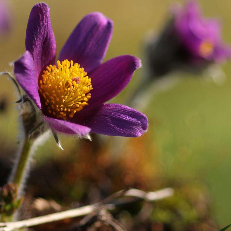 Pulsatilla vulgaris Pflanze im Topf