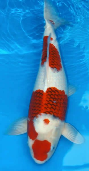 17 best images about ai goromo white koi patern of kohaku for Koi breeders near me