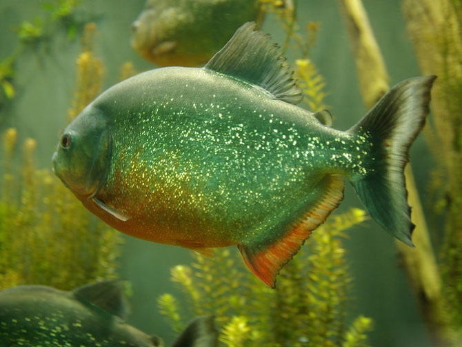 16 best piranhas images on pinterest aquariums fish for Fish in the amazon