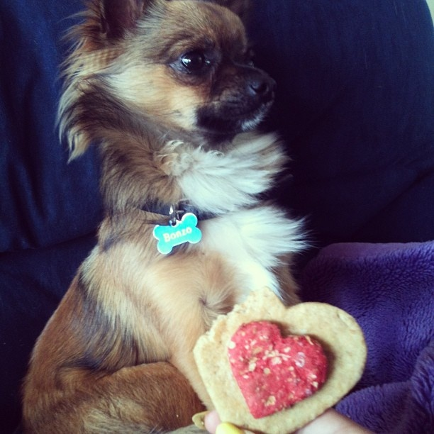 Bonzo the Chihuahua and his Valentines gift. #chihuahua