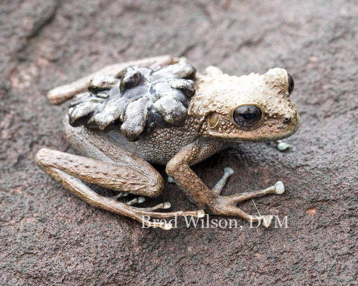 "Stefania ginesi, female carrying neonatal frogs, tepui ""B"", Canaima National Park, Bolivar State, Venezuela   Flickr - Photo Sharing!"