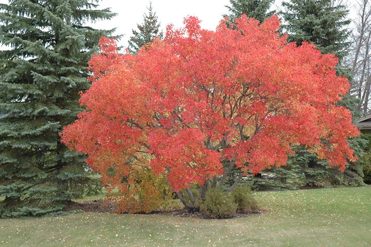 Amur maple acer ginnala a choice small tree among the for Maple trees for small gardens