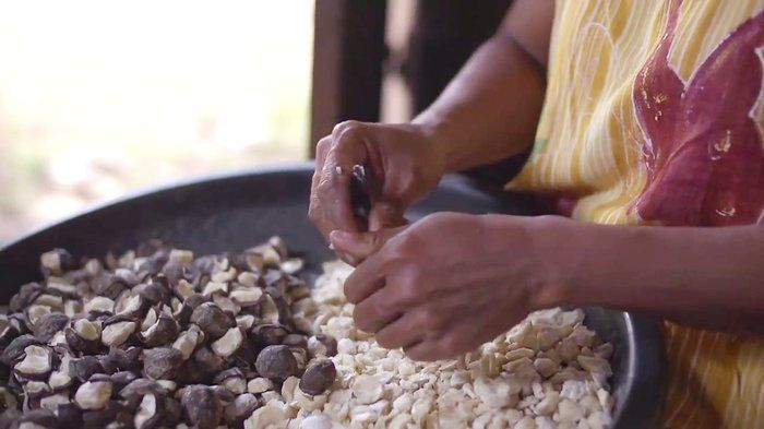 Poor man's crop, rich man's food - Geography (6,9,10). Cashews are expensive to buy, but Indonesian cashew farmers don't get paid a high price for them. So who gets the profits? Trace the journey of cashews from farm to market with some farmers from Flores who grow them. Find out about a program aimed at addressing the profit issue, and see its impact on the wellbeing of farmers and their families.