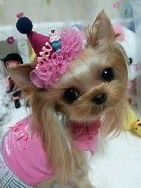 Happy Birthday Cute Yorkie Puppies