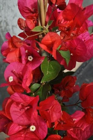 Bougainvillier Diego Rouge