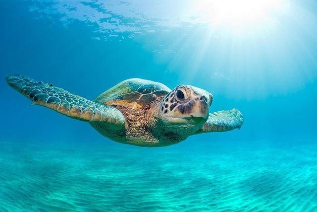 Green sea turtle swimming underwater in Maui, Hawaii