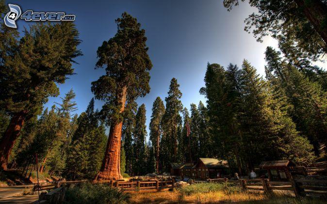 Parque nacional de las Secuoyas, árboles coníferos, secoya