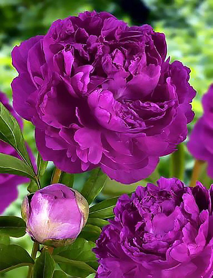 салатов фиолетовые пионы картинки можно даже пригласить