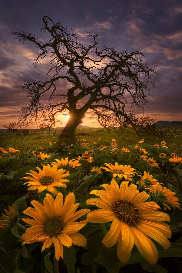 Fields of Gold at Sunset ~ Rowena Crest, Oregon #scenery