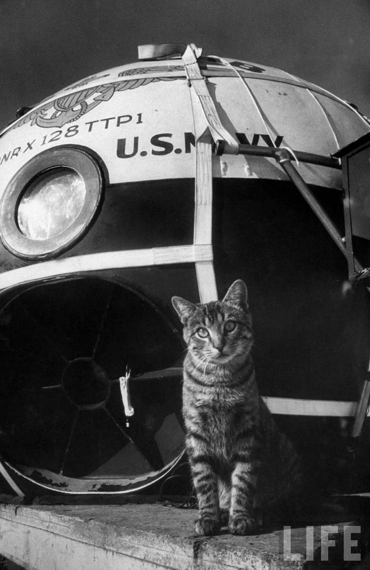 Grey Villet, Tabby cat standing in front gondola during Operation Stratolab, 1956. Rapid City, South Dakota. Source: LIFE Photo Archive, hosted by Google.  Project Strato-Lab was a high-altitude, manned balloon program sponsored by the Navy in the...