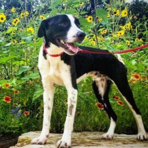 Border Collie dog for Adoption in Austin, TX. ADN565897