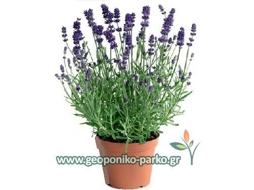 Αρωματικά φυτά - Φαρμακευτικά - Βότανα : Λεβάντα φυτό - Γκρι χρώμα | Lavandula spica