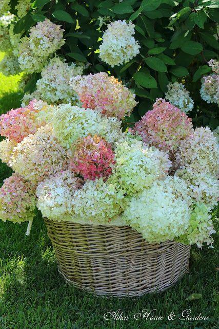 fall gathering of hydrangeas to dry...