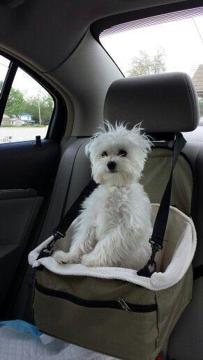 Maltese backseat driver                                                                                                                                                                                 More