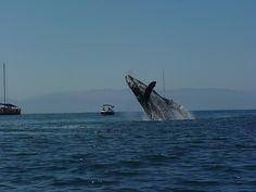 Whale Watching off the coast of Puerto Vallarta #PUertoVallarta #Jalisco #Mexico #Travel #whale #Whales #tour #RivieraNayarit http://bit.ly/1pEAJpf