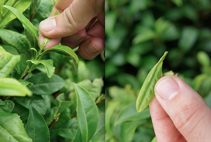 grow your own green tea! Camellia sinensis - an established plant can take -15C!