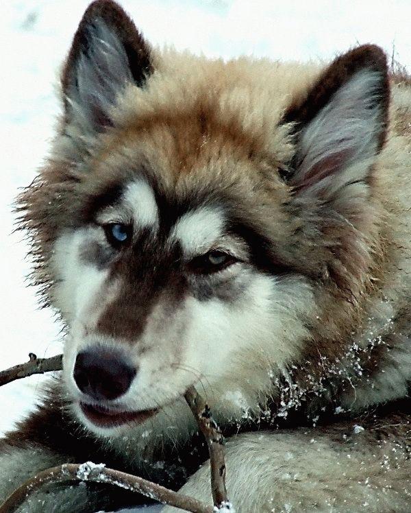 Chena (Malamute, Siberian Husky) Mischling Mix. Gorgeous face!