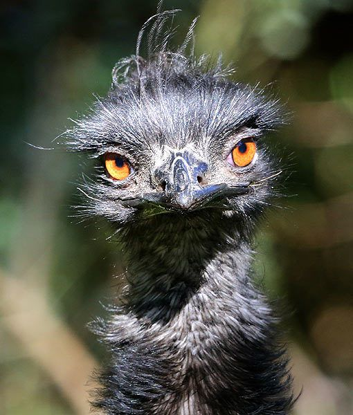 An Emu bird in its outdoor enclosure in the Duisburg zoo, northwestern Germany. Emus are the second largest member of the ratite group of flightless birds. They are Australia's national bird.
