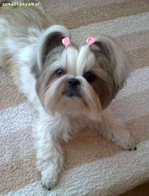 how big does a shih tzu get 17 best images about shih tzu on pinterest puppys sweet 4780