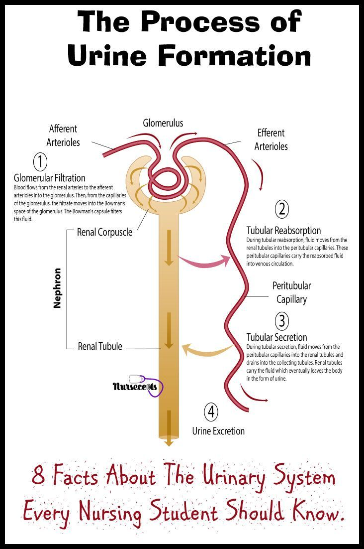 the formation of urine consists of three processes glomerular filtration tubular reabsorption and [ 732 x 1102 Pixel ]