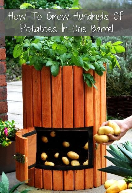 How-To-Grow-Hundreds-Of-Potatoes-In-One-Barrel