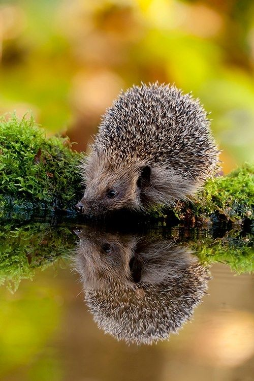 Hedgehog's 'Self-portrait', they love water features